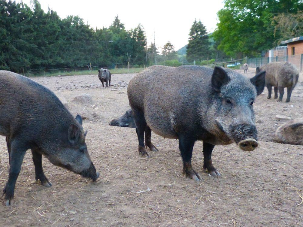 Wildschweingatter